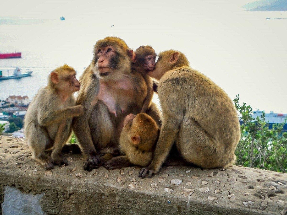 Family of Gibraltar monkeys on The Rock
