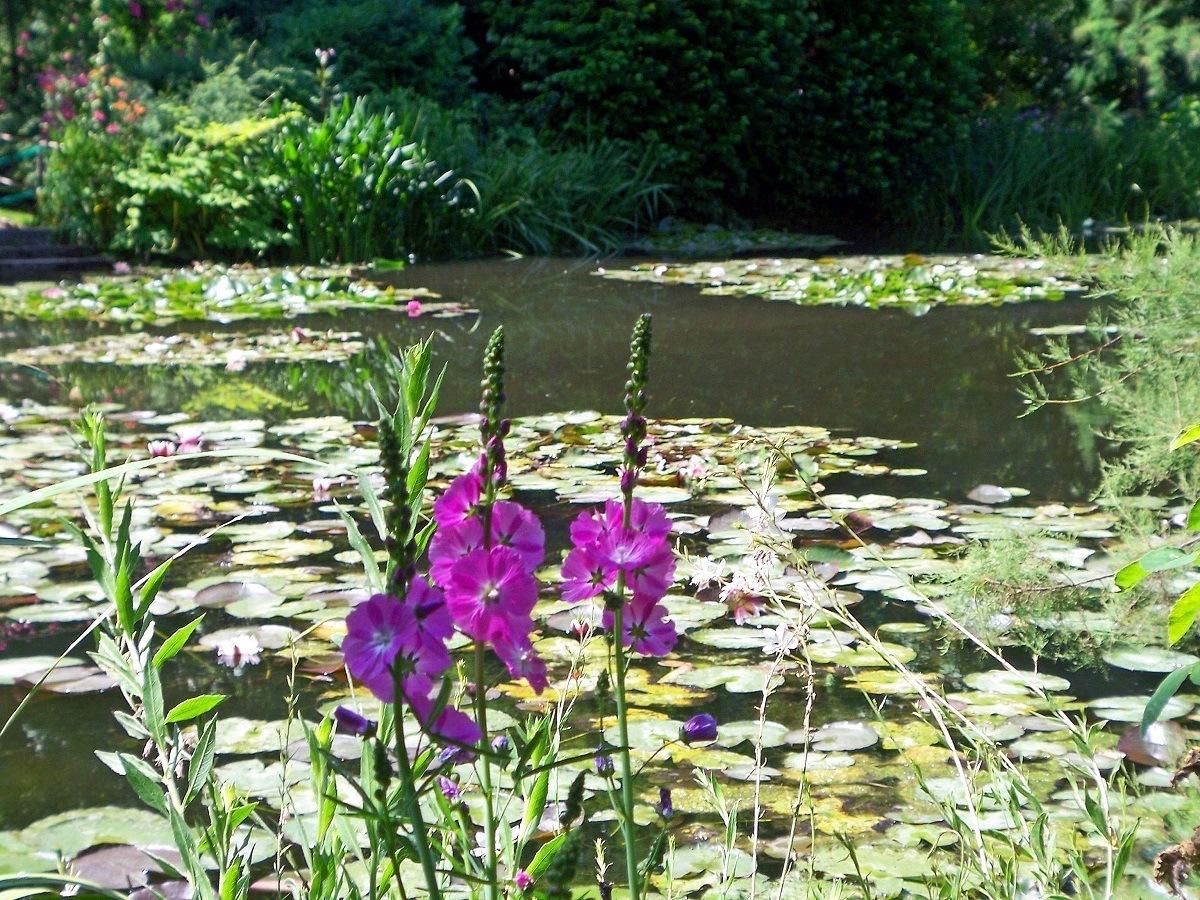 Water Lilies in Monet's Garden in Giverny