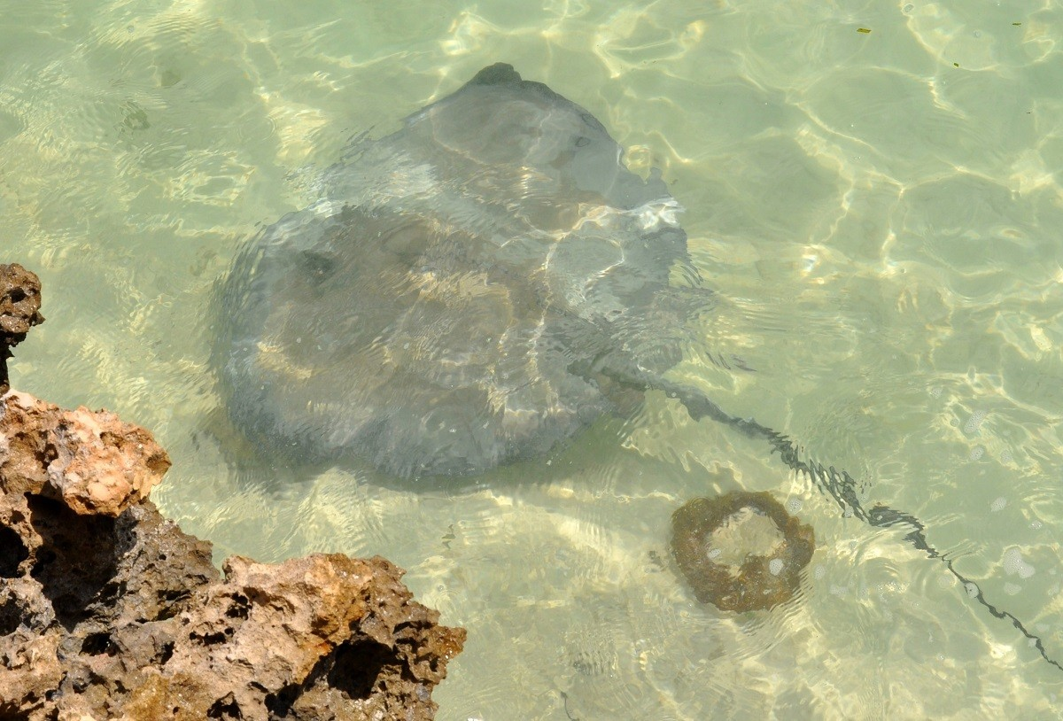 See a stingray in the water