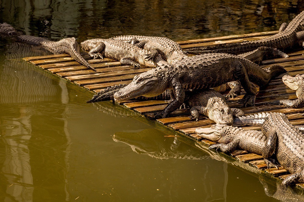 Alligators sunning themselves on a dock by the water