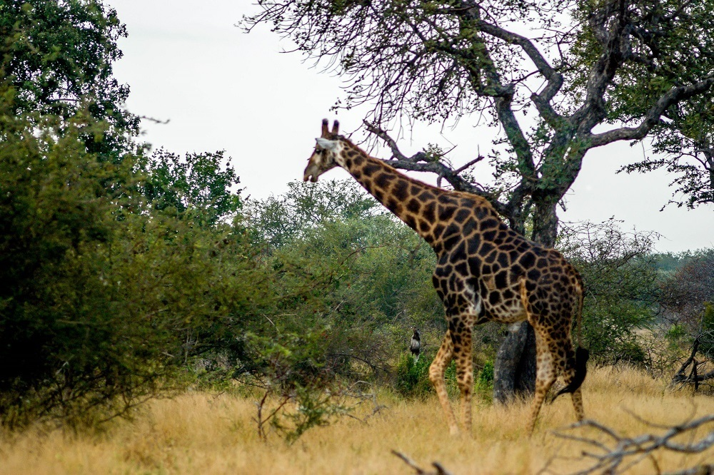 A giraffe at the Klaserie Private Nature Reserve