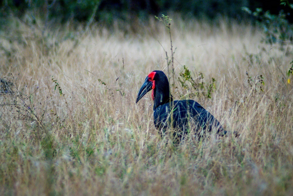 A Ground Hornbill in the Klaserie Private Nature Reserve.