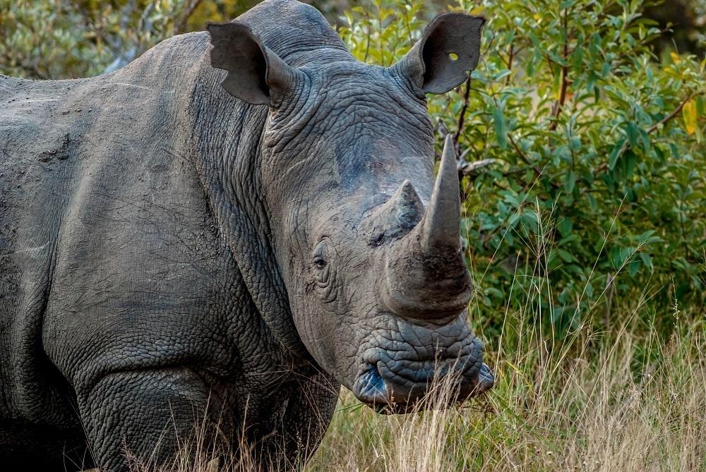 Seeing a square-lip rhino (a white rhino) on a big five safari in South Africa
