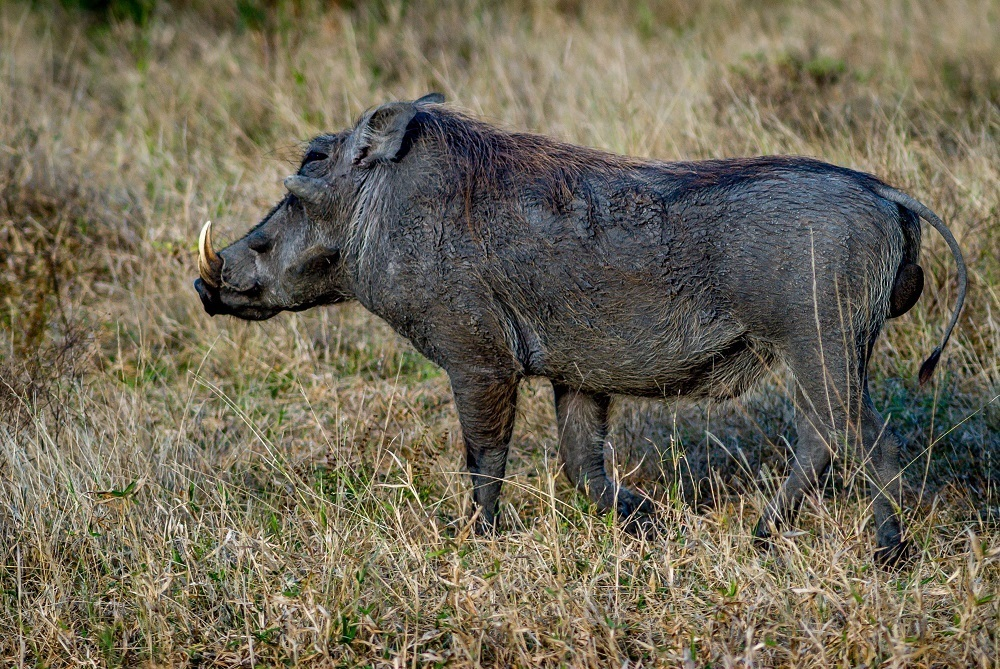 This lone warthog was seen on a South Africa safari in the Greater Kruger National Park