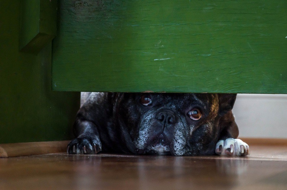 A French bulldog puppy under the bed