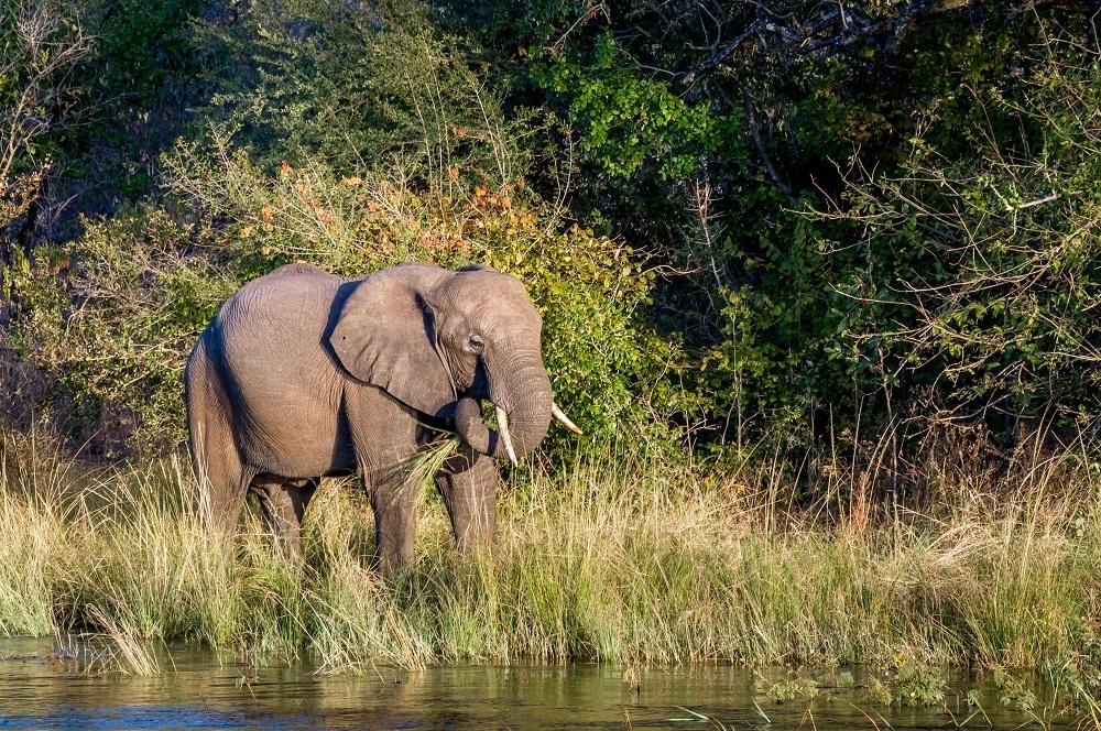 An elephant on the Zambezi River in Zimbabwe