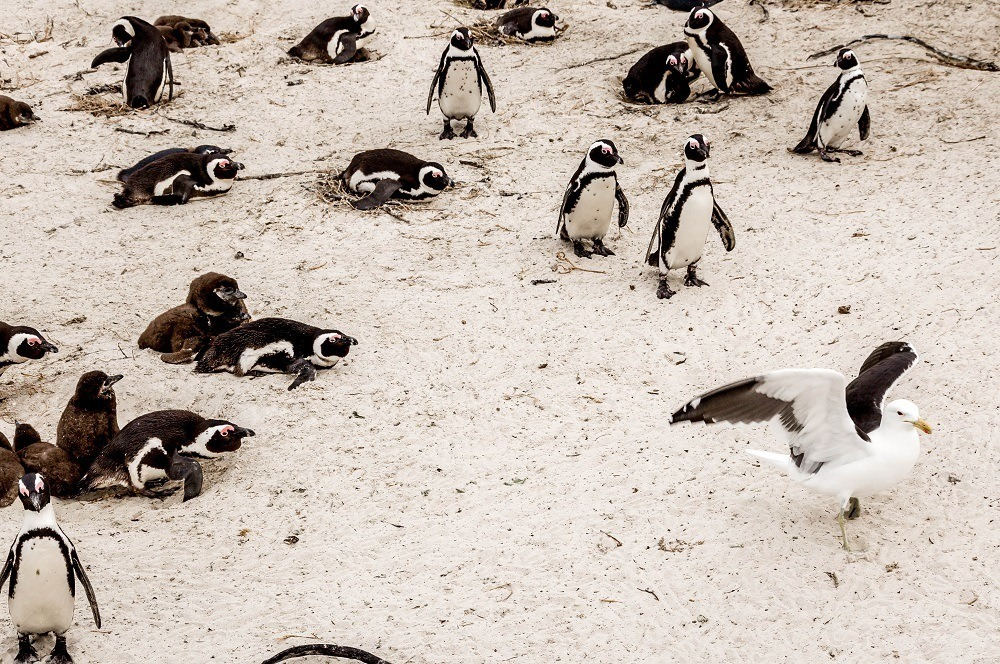 The African Penguins at Boulders Beach and a seagull