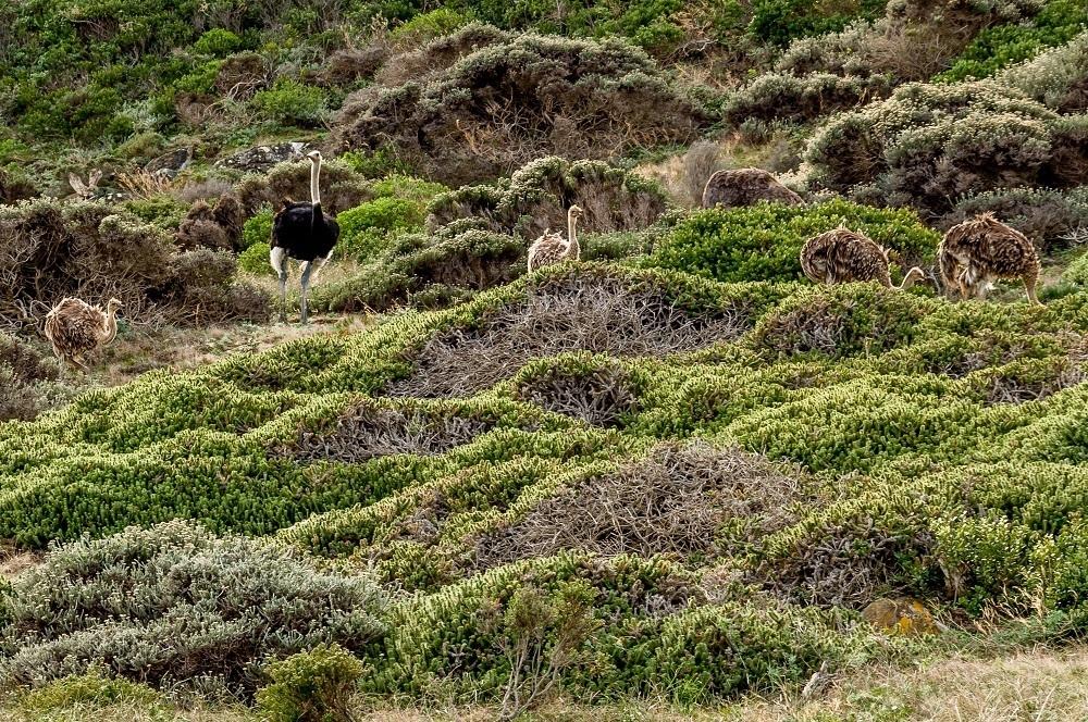 Wild ostriches foraging on a hillside