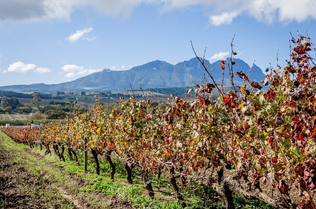 Rows of grape vines at the vineyard at Beyerskloof on the Stellenbosch Wine Route