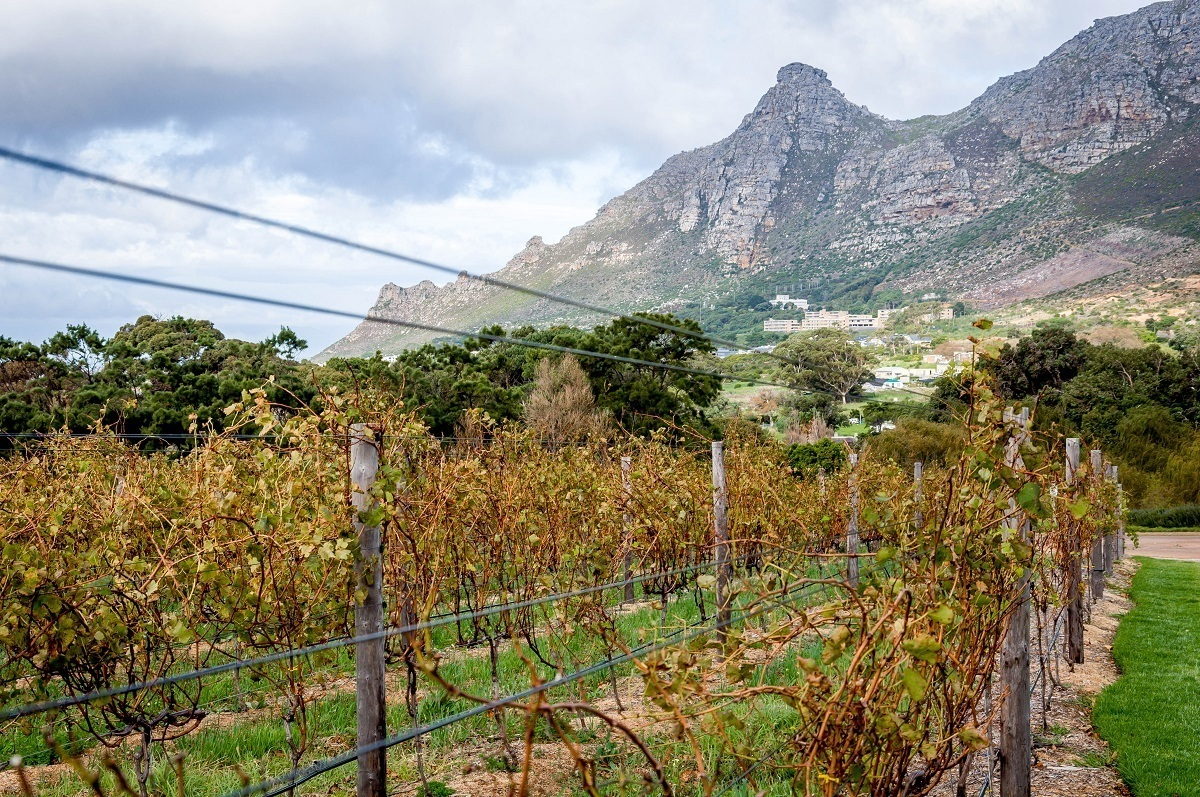 The vineyard at Steenberg winery on the Constantia Wine Route