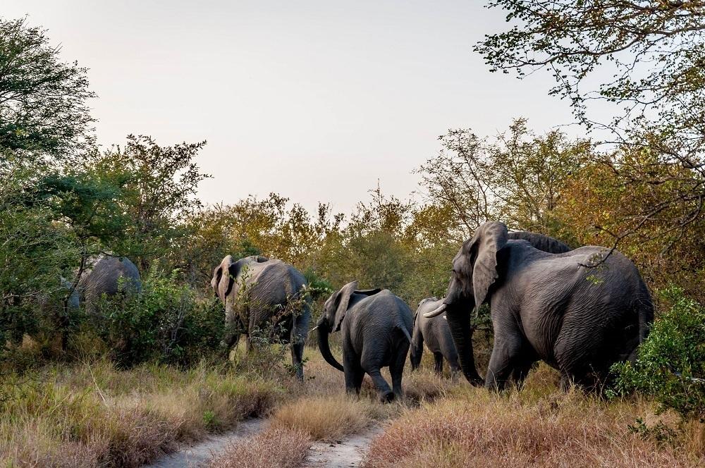 Elephant herd from Kruger National Park in the Klaserie Reserve