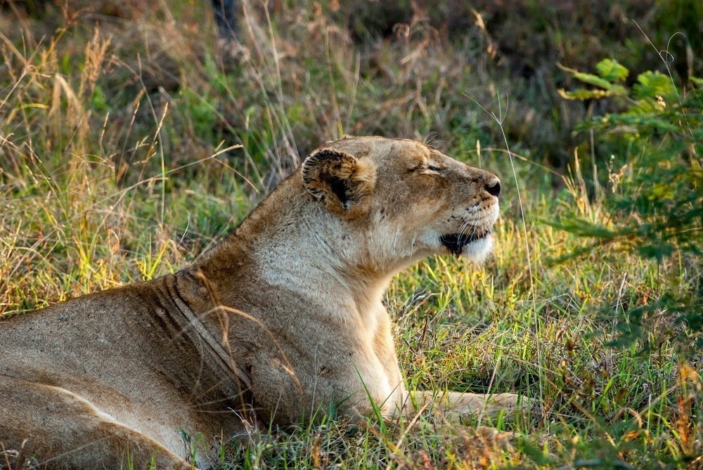 A lioness of The Ross Pride in the Klaserie Private Nature Reserve