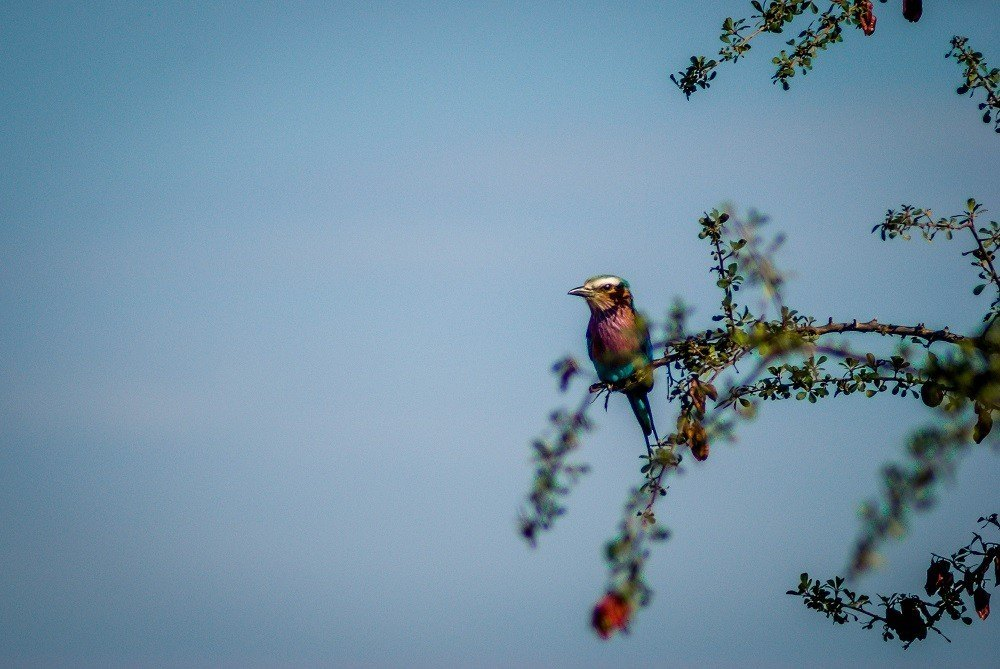 A lilac breasted roller in a tree
