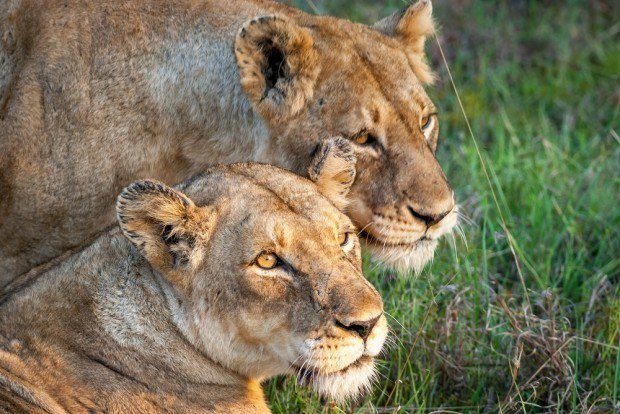 Close up of two female lions