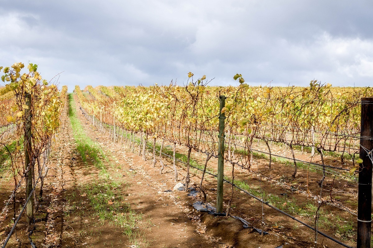 Rows of grapevines in a vineyard