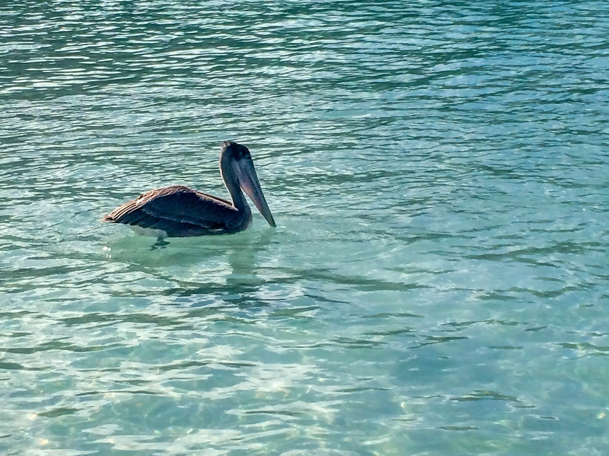 Pelican in the ocean