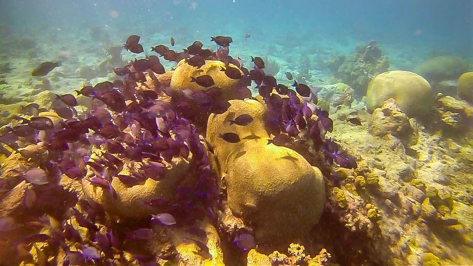 School of blue tang fish on the Buck Island reef