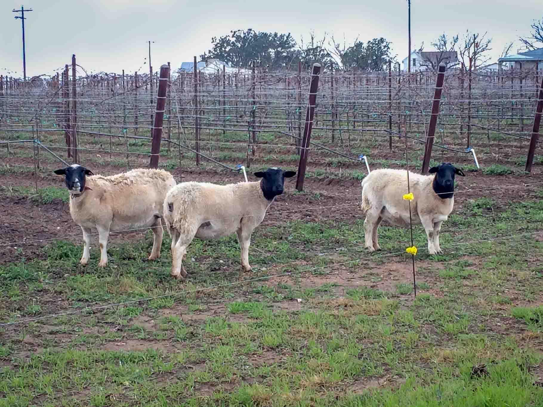 Sheep in a vineyard