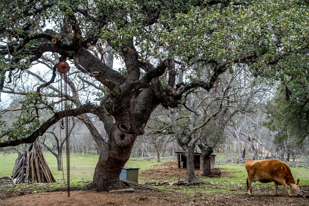 Cow under tree at LBJ State Park