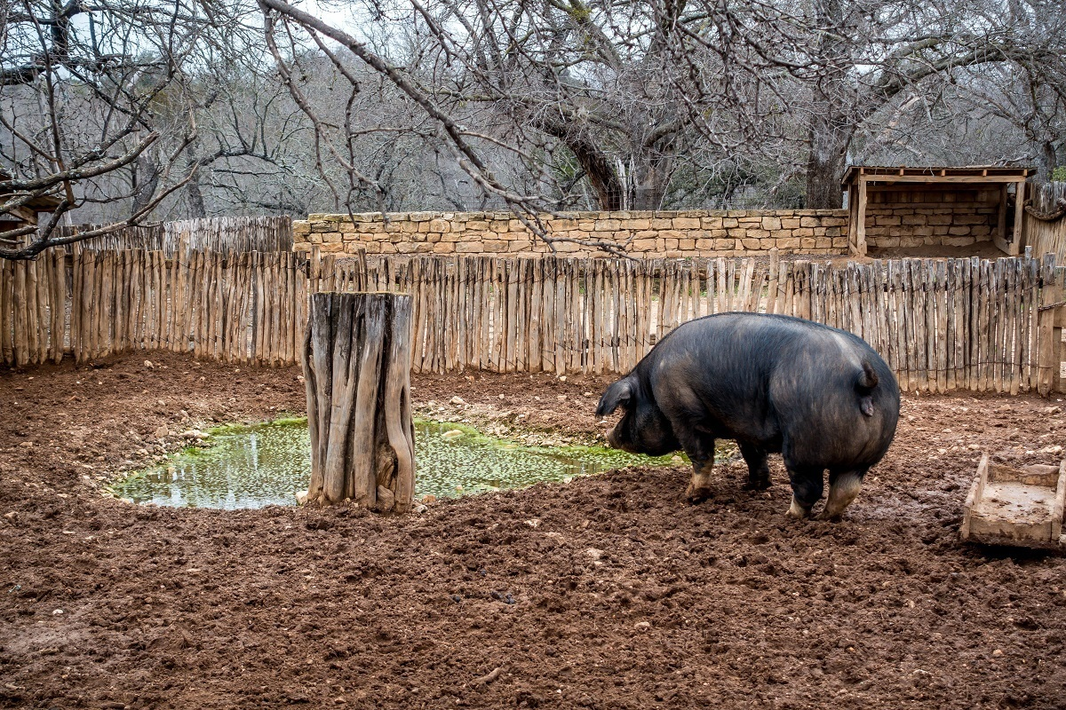 Hog outside