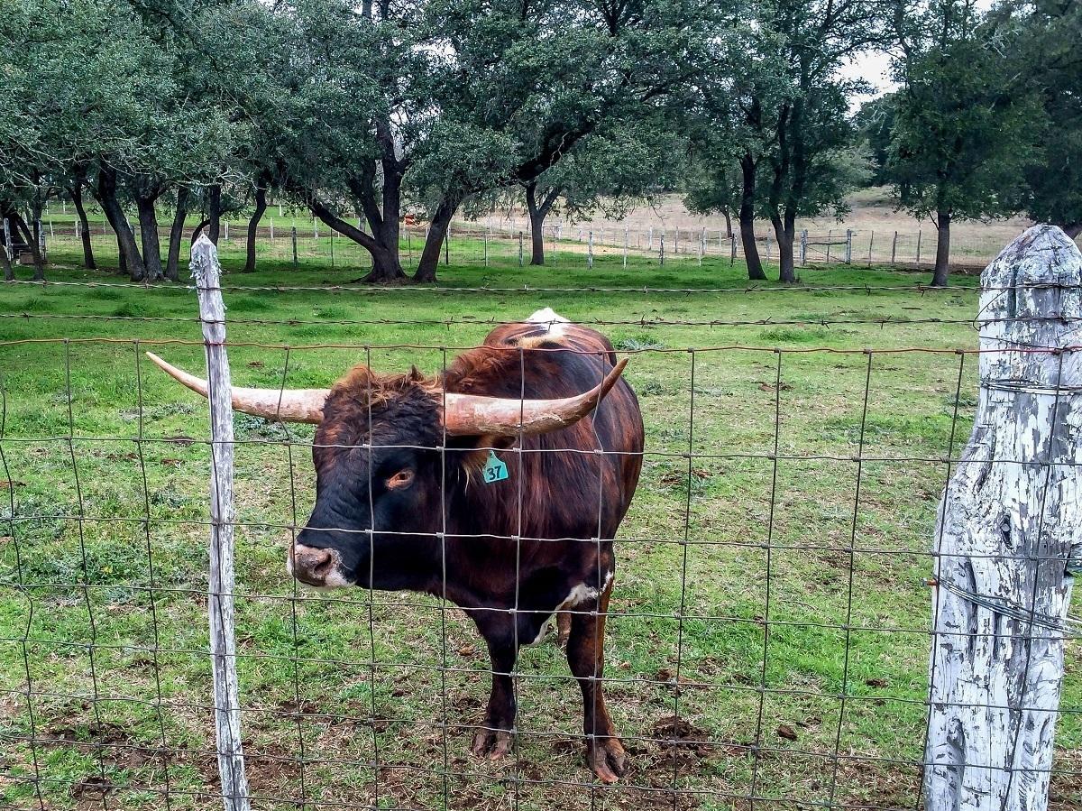 Longhorn behind fence