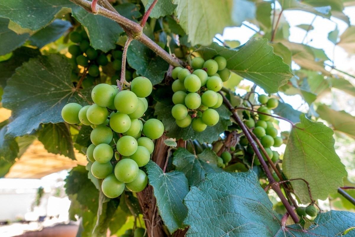 Black Spanish grapes on grapevine
