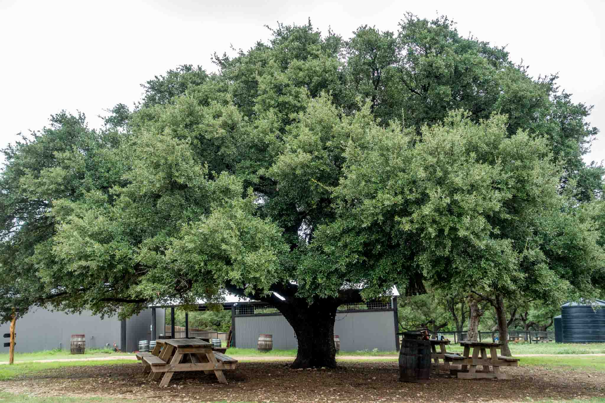 Picnic tables under a large oak tree