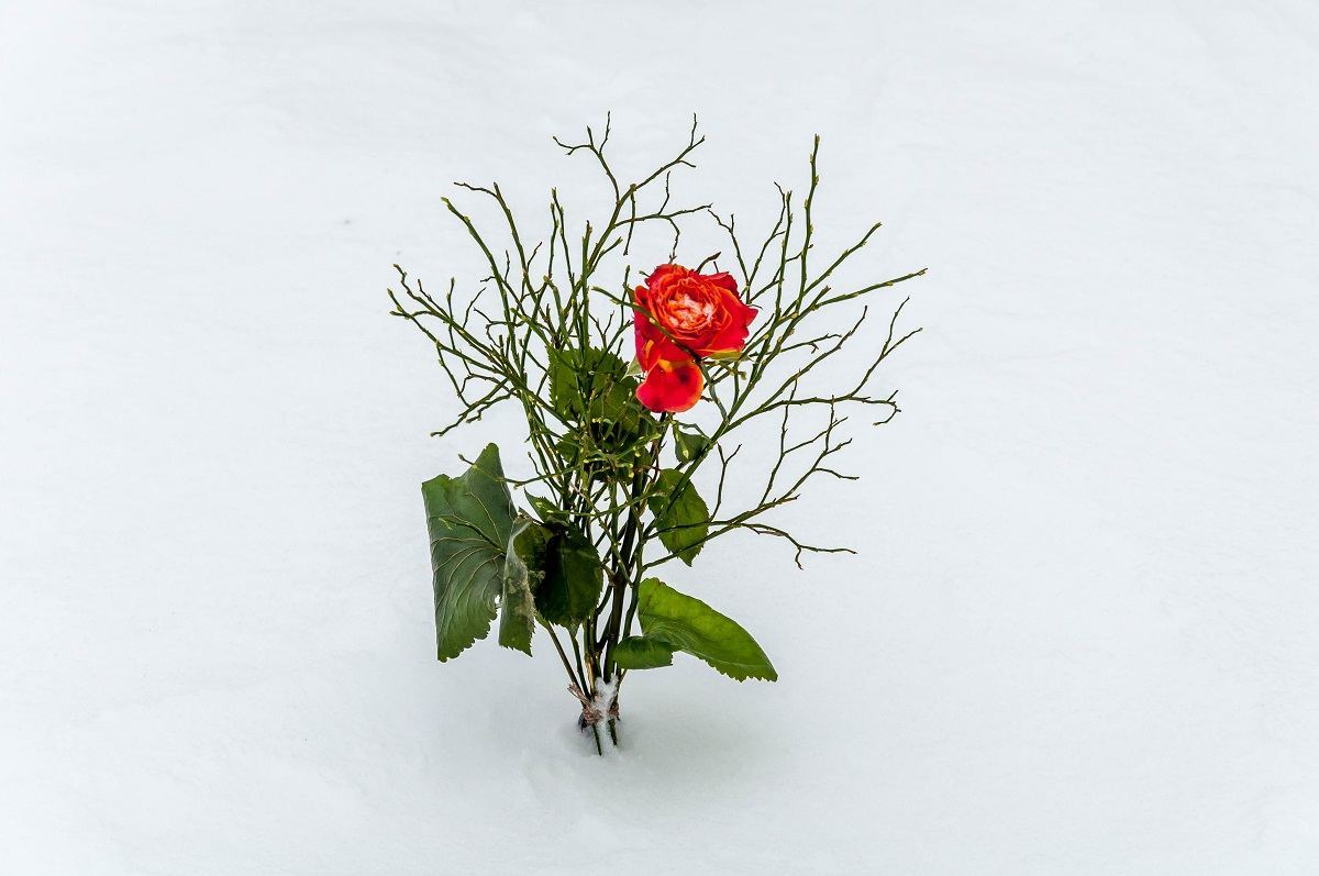 A single red rose in the snow