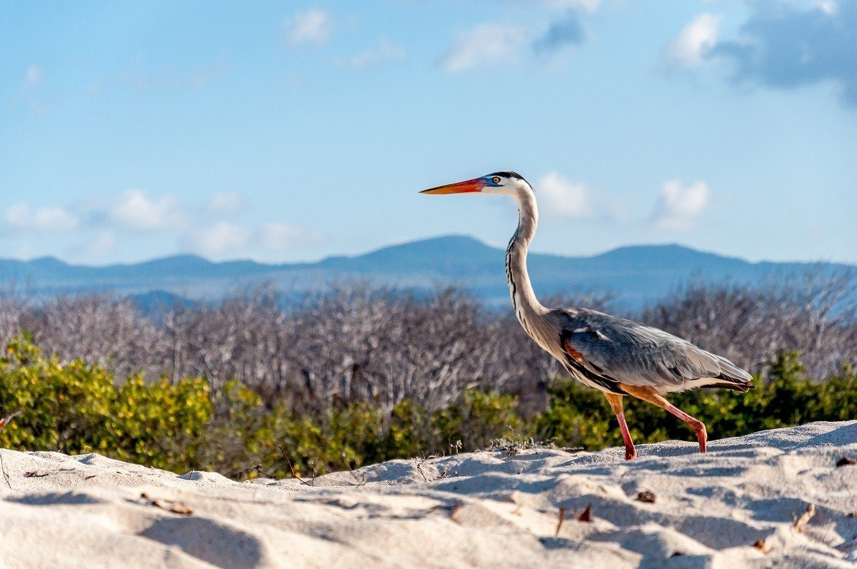 Great blue heron bird walking on the sand