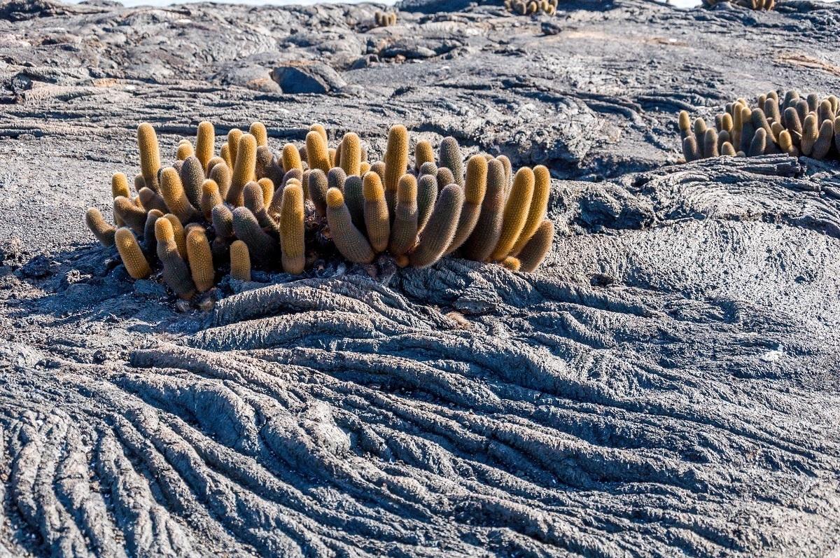 Lava cactus in cracks in the flow on Fernandina Island at Punta Espinoza