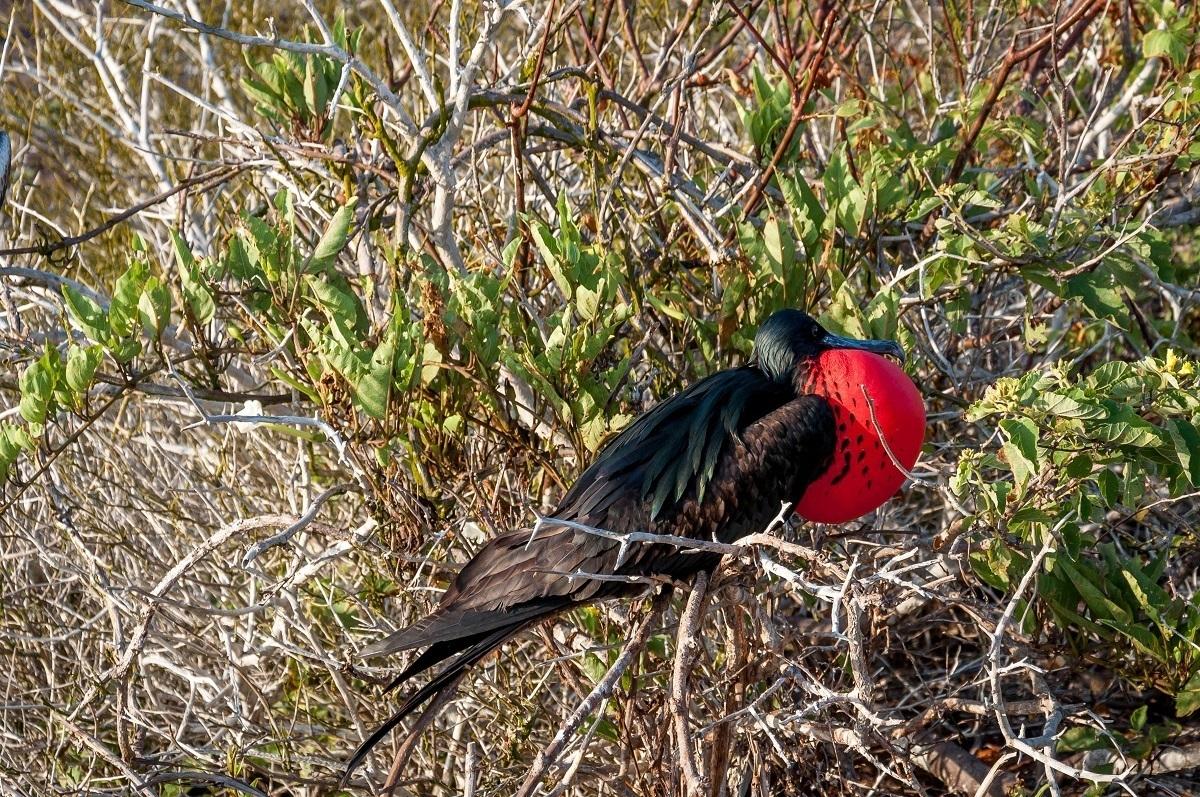 Spotting a male Magnificent Frigatebird