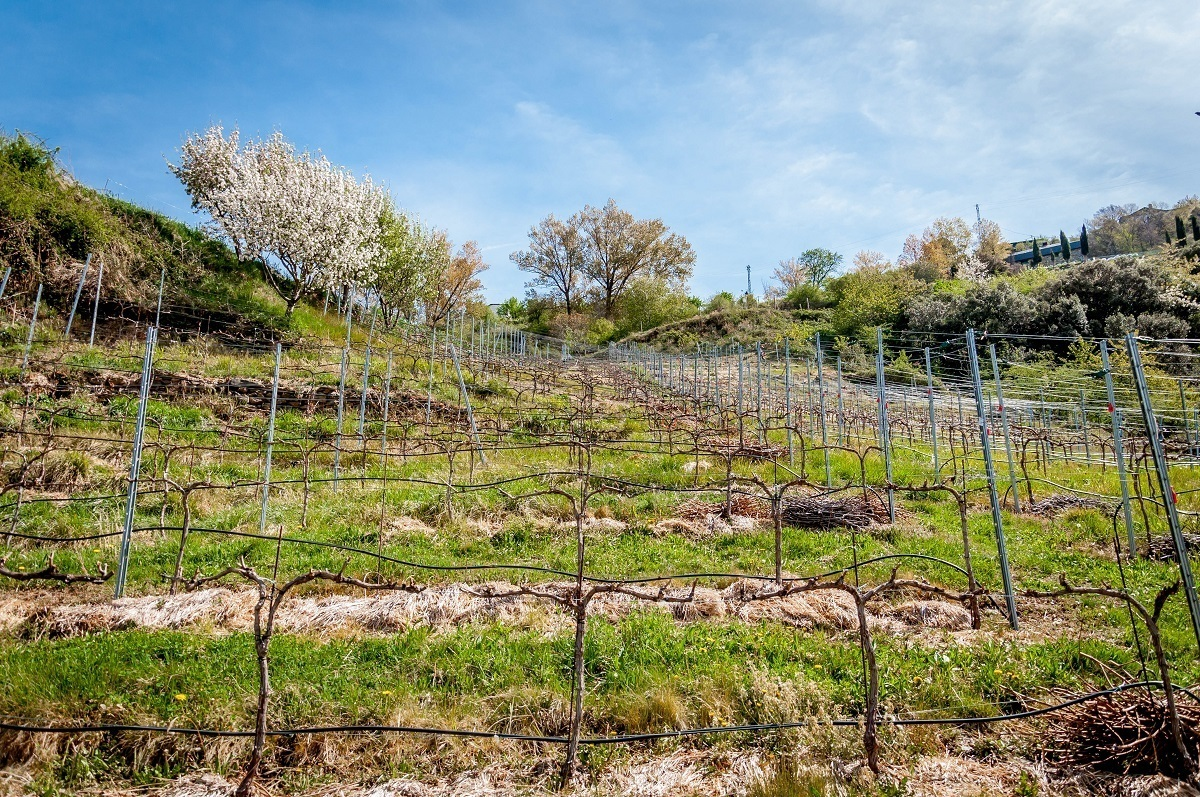 The vines during the winter