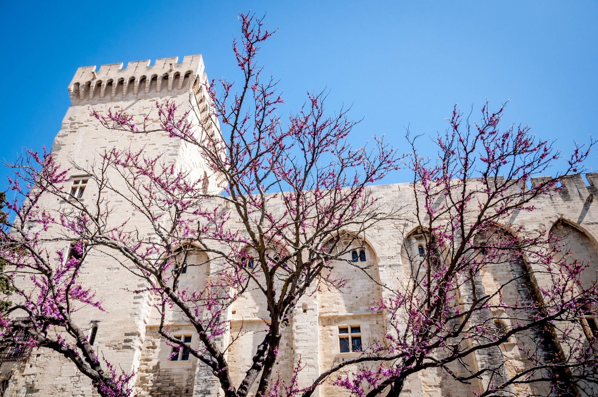 Cherry blossom tree in front of white building, the Palace of the Popes