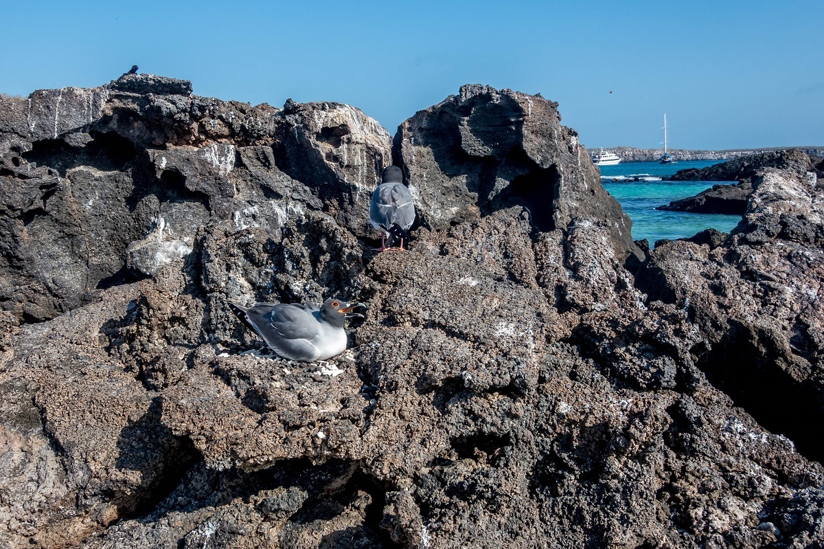 Two gray birds with curved beaks on lava rocks