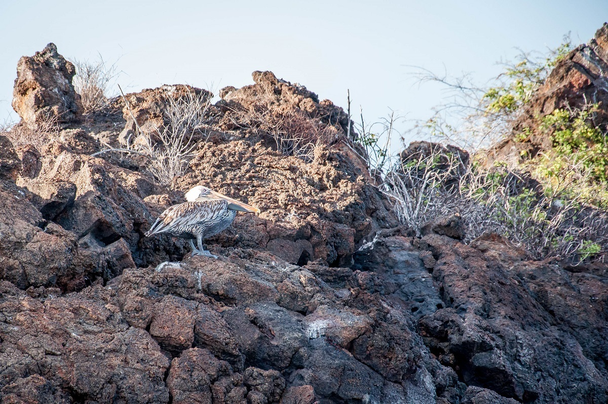 Bird with brown and white feathers blending in with lava rocks