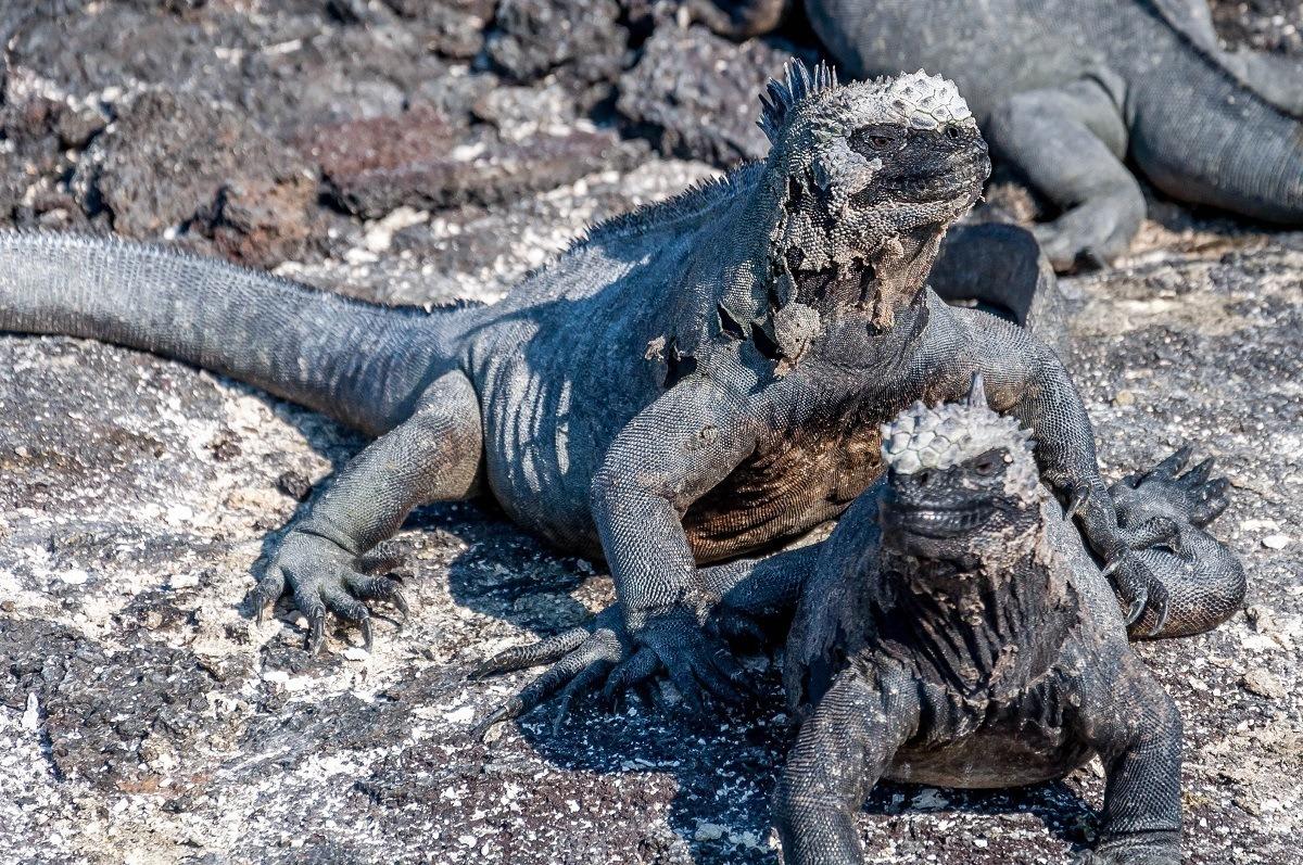 Pair of black iguanas on black rock