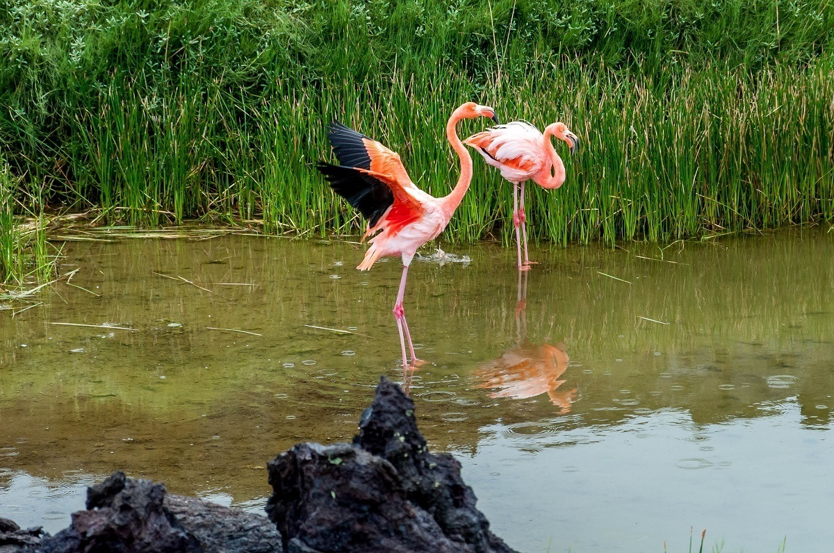 A pair of pink flamingos standing in  water