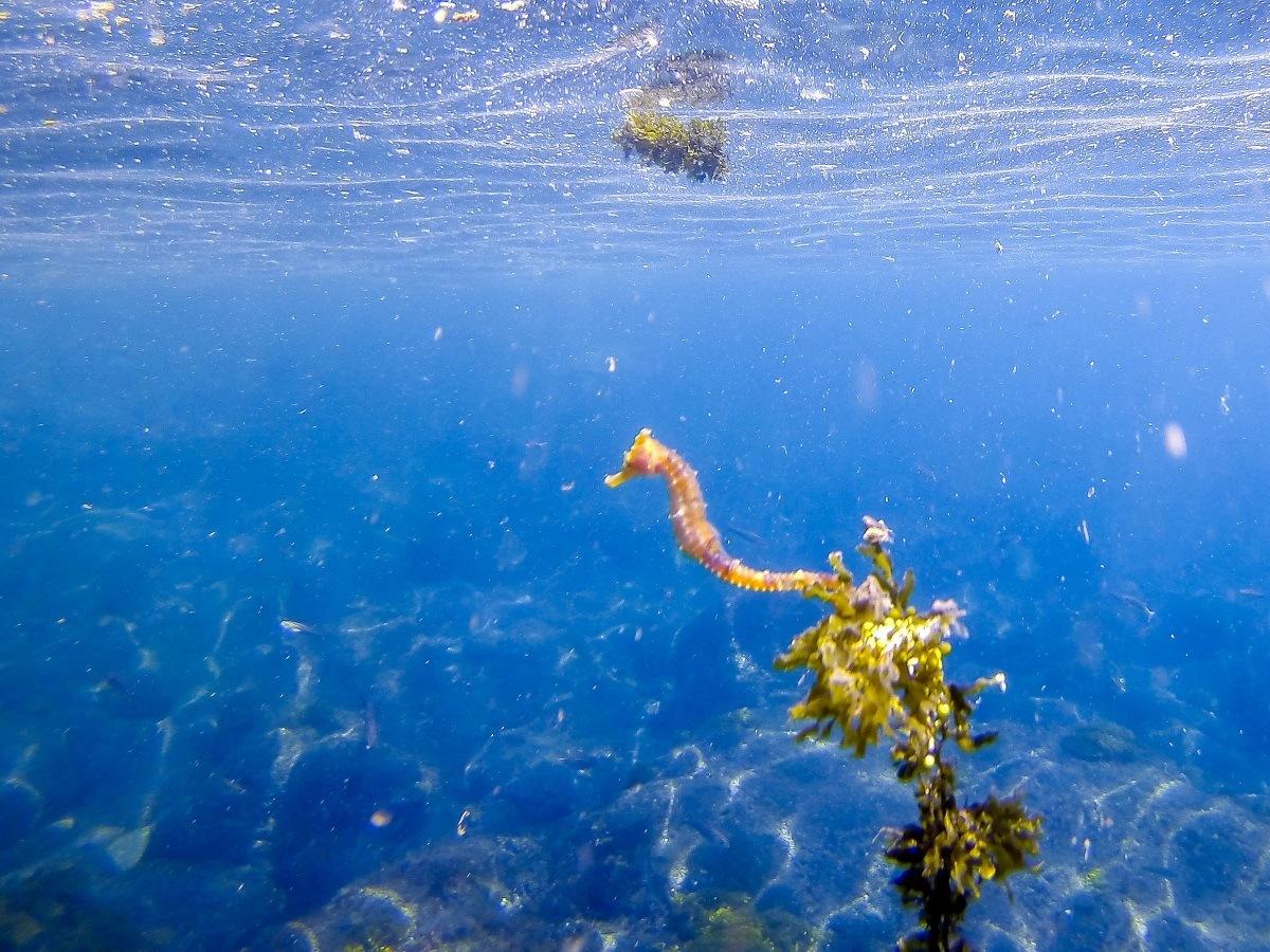 Tiny yellow seahorse