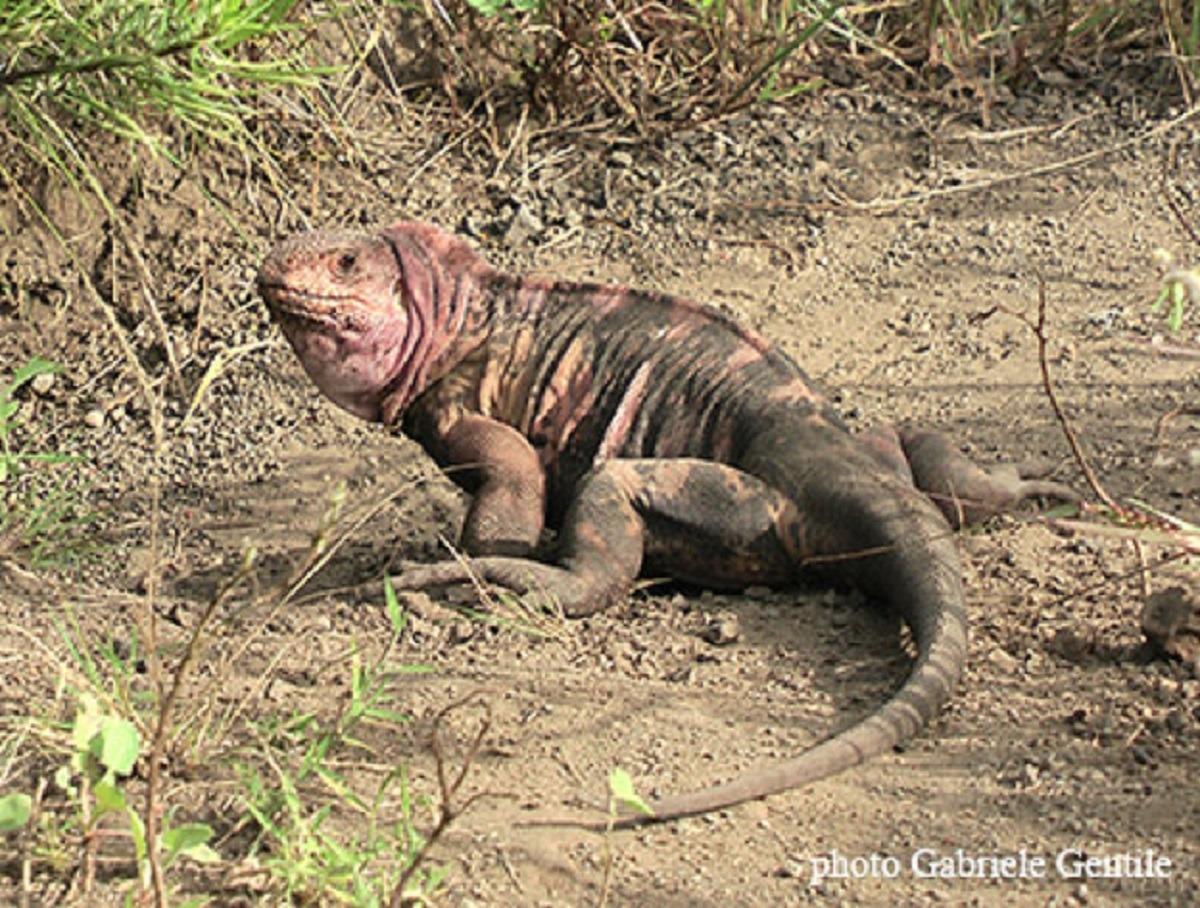Galapagos pink iguana. Photo: Gentile, Gabriele. 2012. Conolophus marthae.