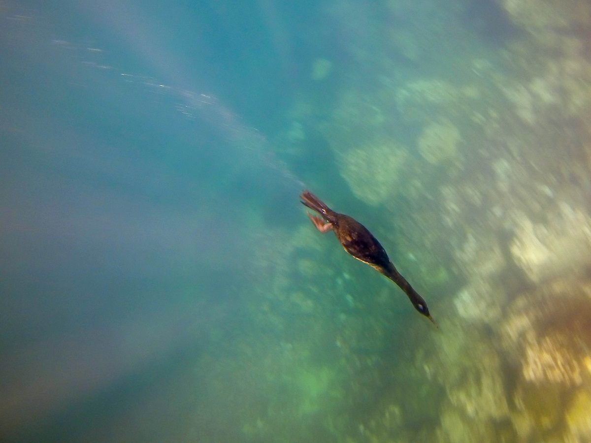 A Galapagos flightless cormorant diving underwater