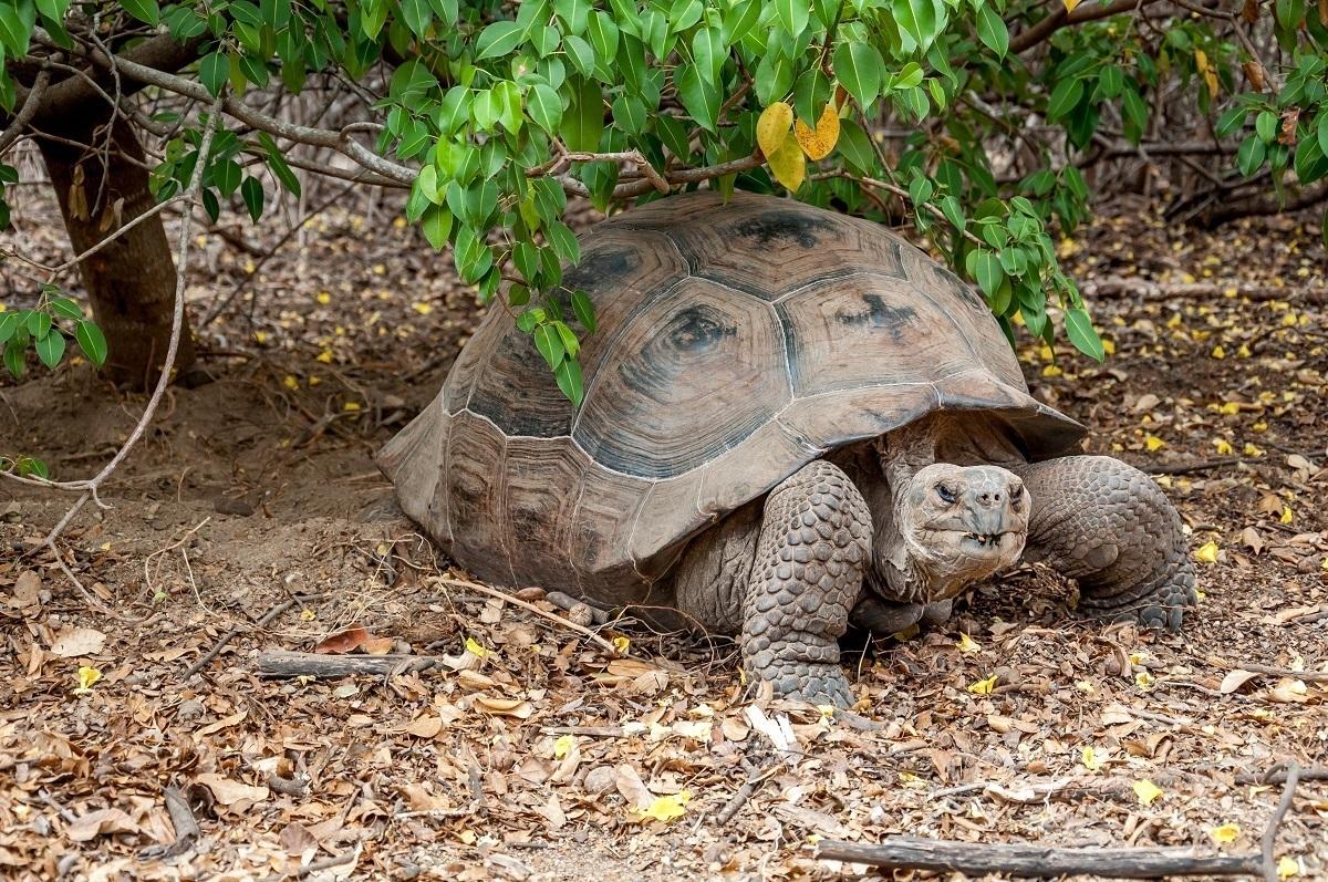 Giant Tortoise under a branch