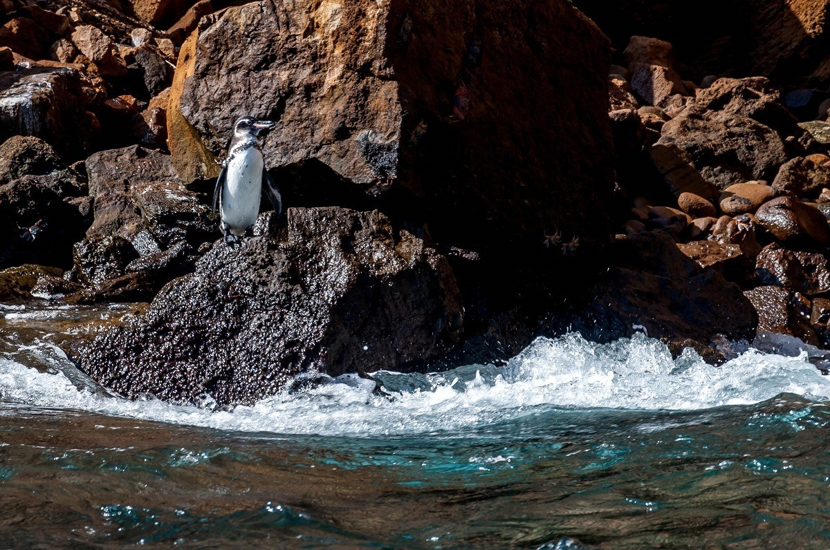 Penguin standing on a rock by the ocean