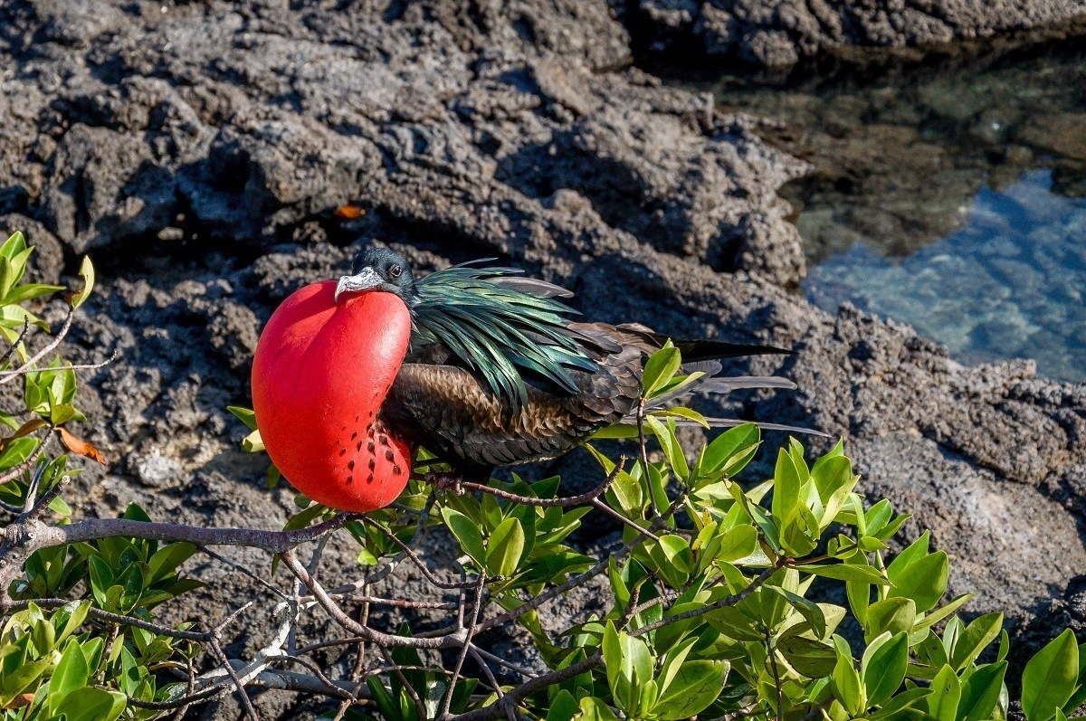 A Frigatebird in the Galapagos Islands