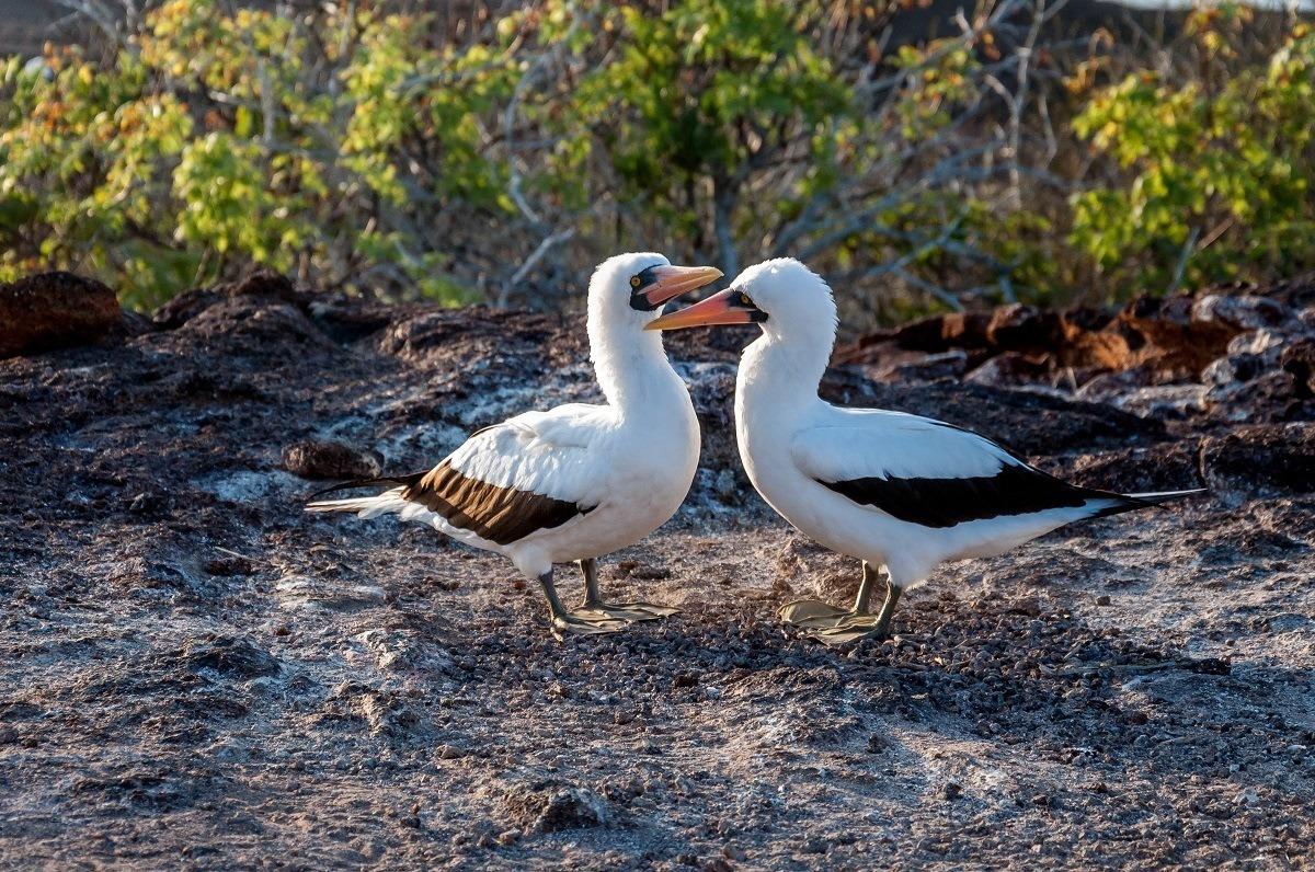 Two black and white birds with orange beaks