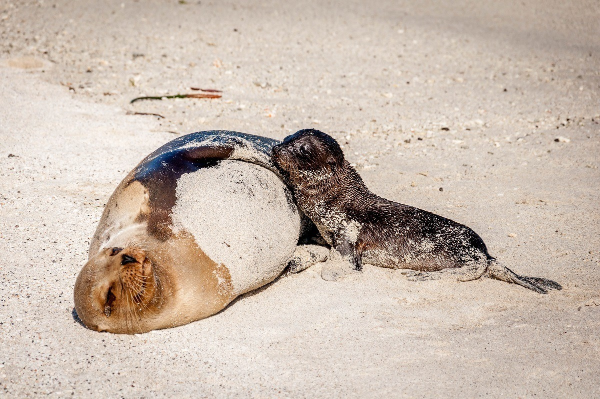 A mother sea lion and her pup on Genovesa Island