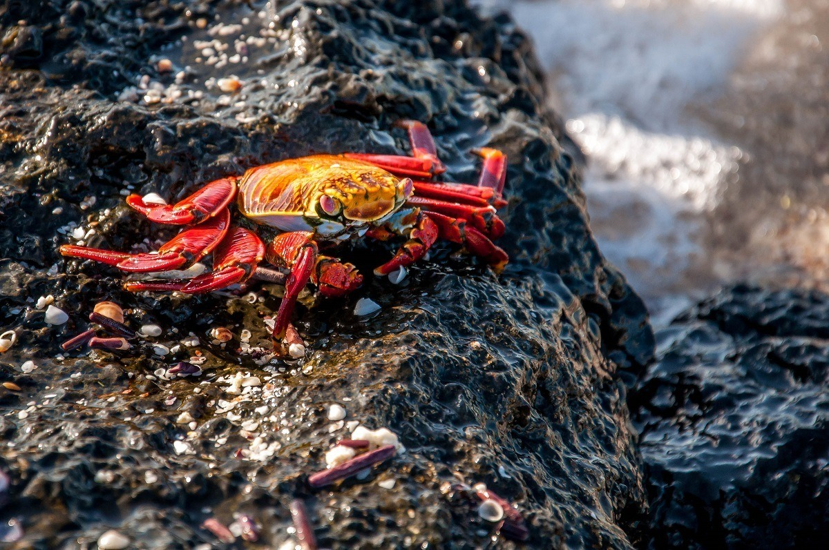 A red and yellow Sally Lightfoot Crab on black lava rock