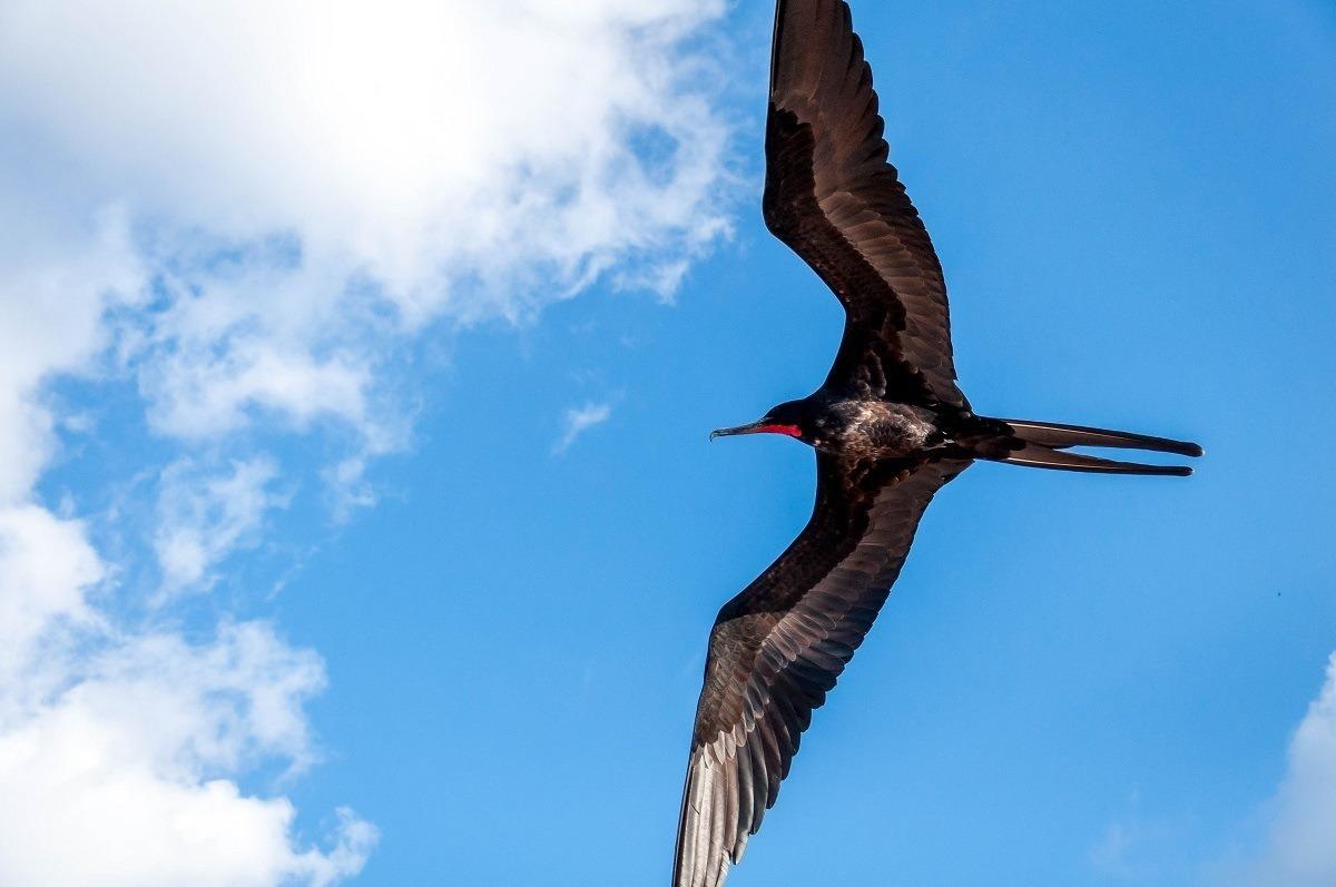 Black bird with a red throat, a male frigatebird in flight