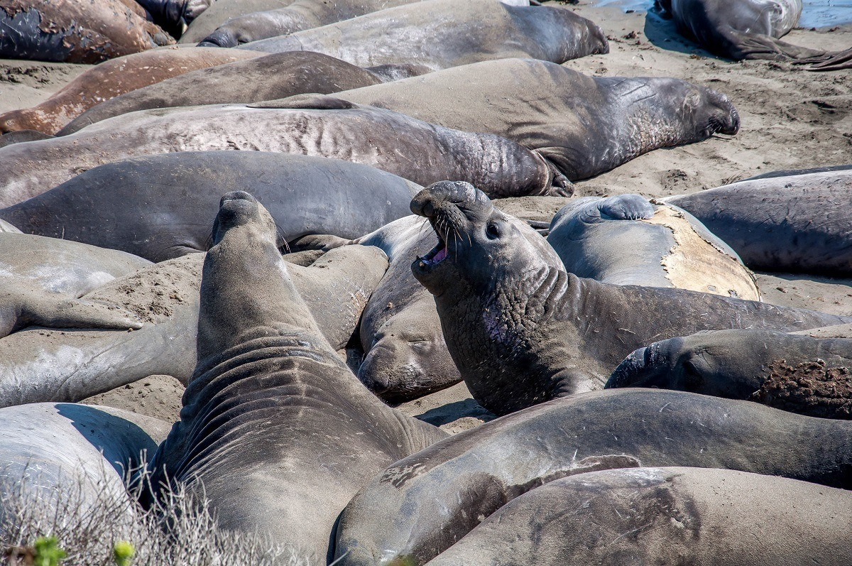The elephant seals in San Simeon, California are one of the top things to do near Cambria