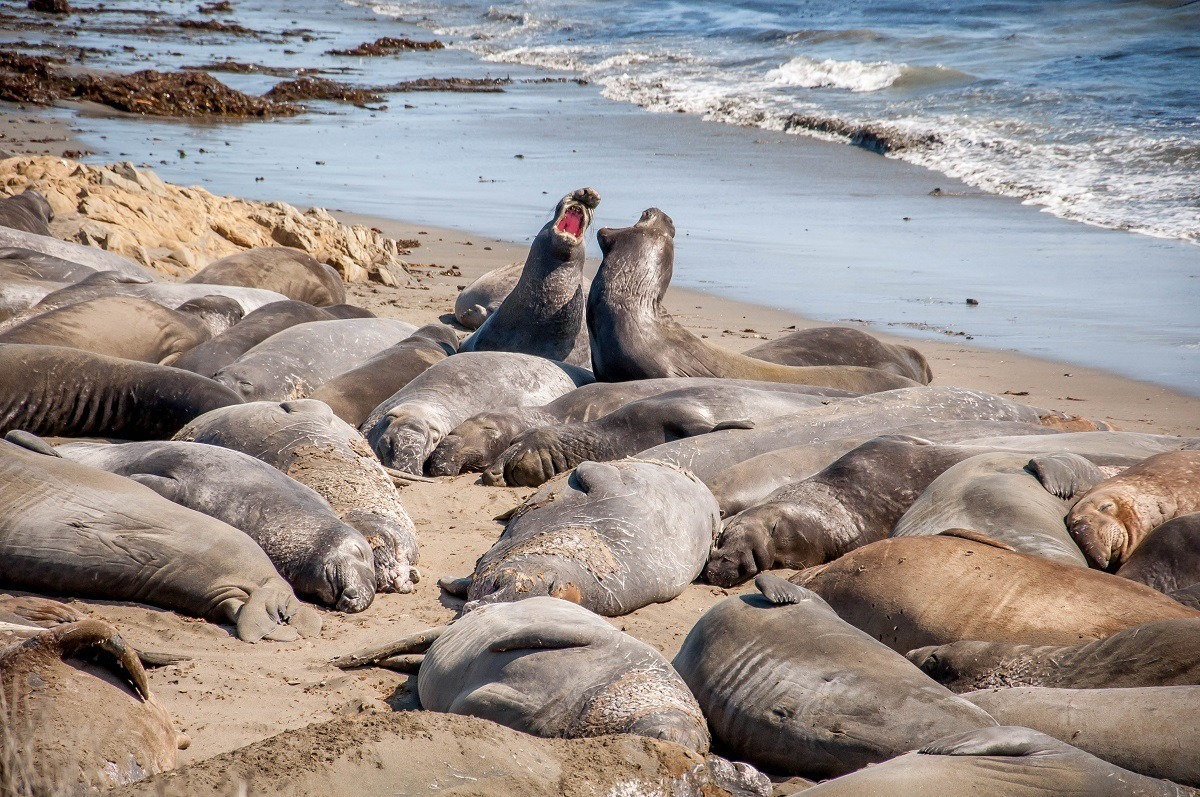 The elephant seal colony and Piedras Blancas rookery at San Simeon