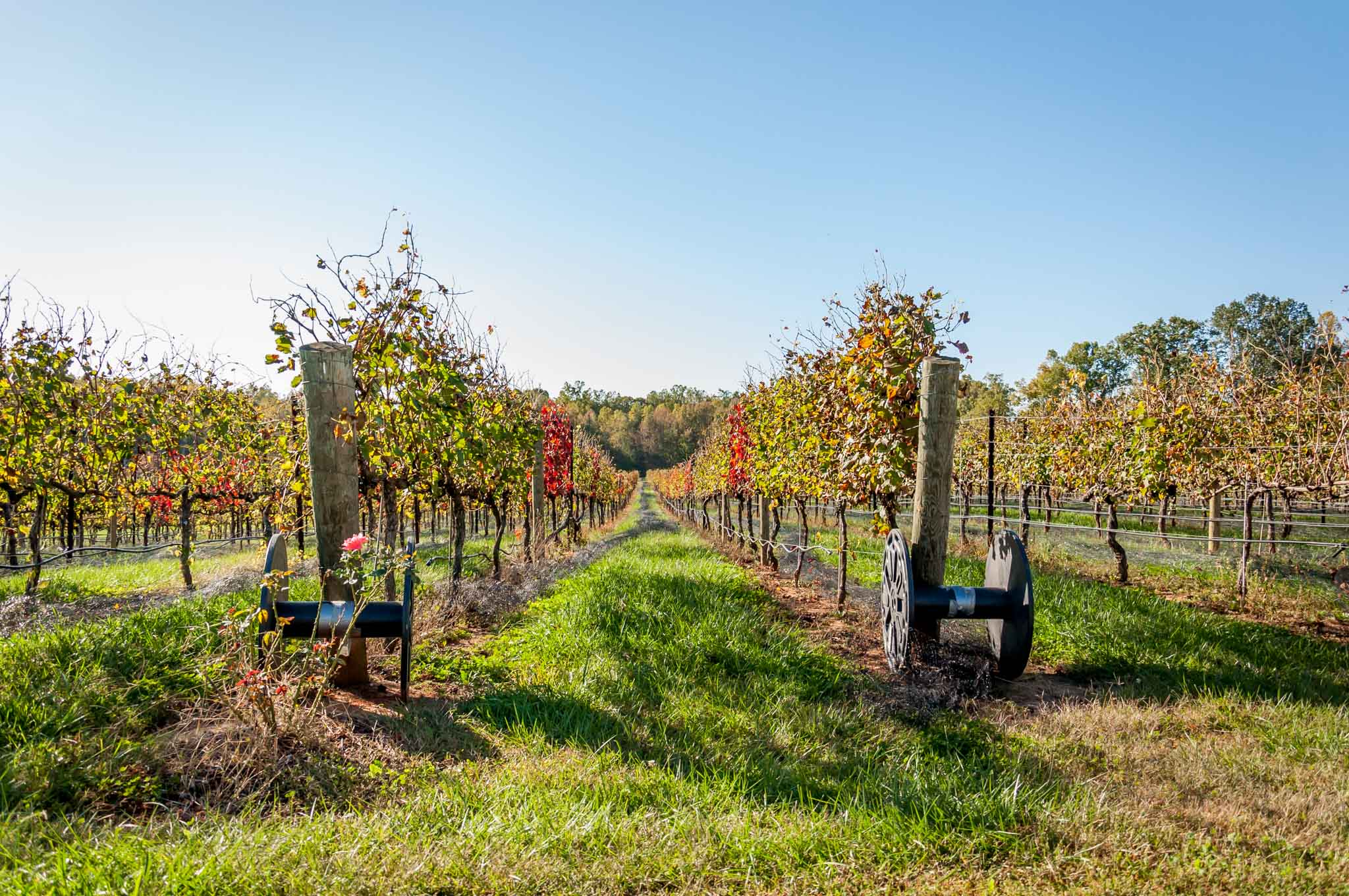 The vines in a vineyard in the autumn